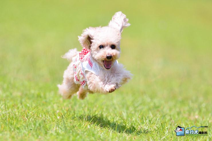 ヤマハリゾートつま恋 飛行犬撮影会