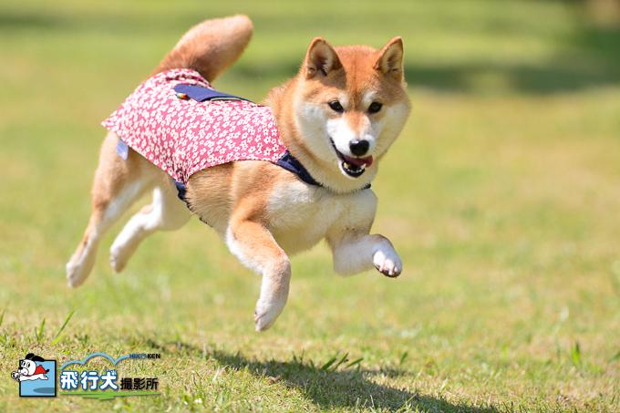 伊豆ドッグランド飛行犬撮影会